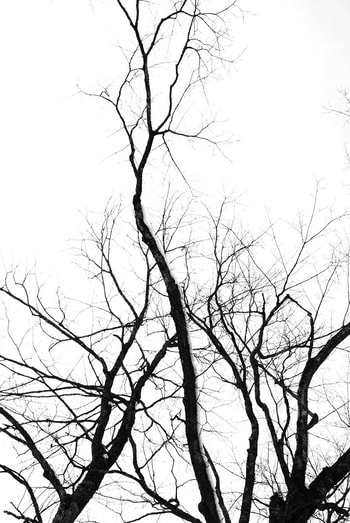 Black and white photograph of tall reaching branches in front of a white sky.